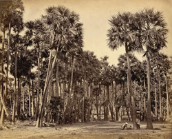 Tullipot palms near Kandy [(sic) southern India.]
